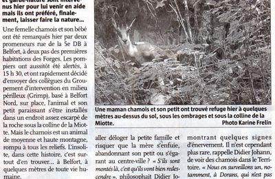 Un chamois à Belfort !