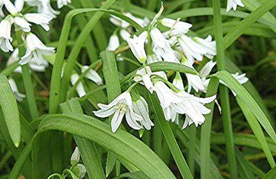 Allium triquetum ou la beauté du diable