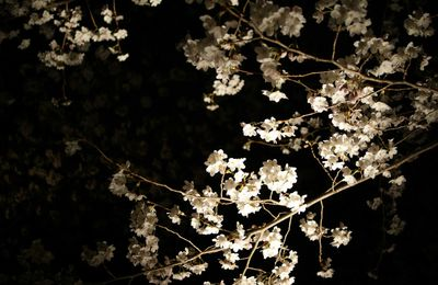 Sakura at Night_ NIJO CASTLE_ Kyoto,Japan