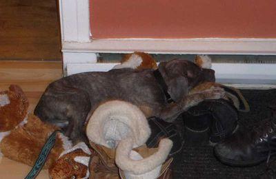 premiers jours de Kenzo mon Cane corso à la maison.
