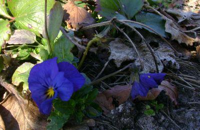 Pensées sauvages au jardin