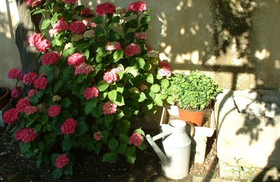Mon hortensia, notre jardin