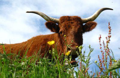 Jolies fleurs et jolie vache - Carmen D