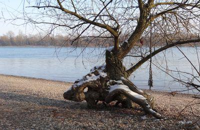 Saule amphibien (2) en hiver