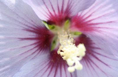 nous voici au centre de l'hibiscus !!!!