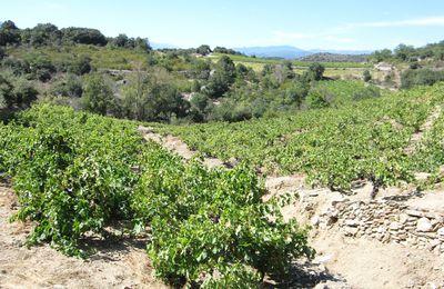 Carignan Story n°41 : Encore de Très Vieilles Vignes