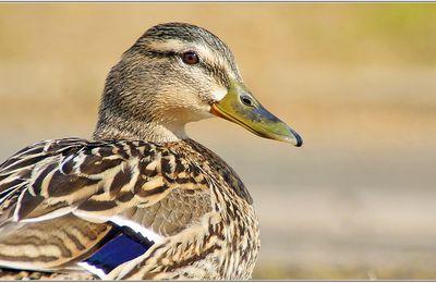Canard Colvert (10) - Anas platyrhynchos / Femelle