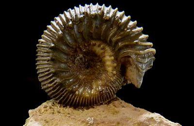 Ammonite de Sengenthal