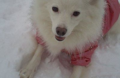 Tilly ,Spitz allemand ,Brest