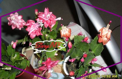 Schlumbergera Orange & Rose