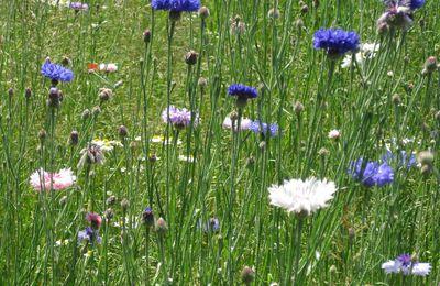 Dans un petit champ de bleuets