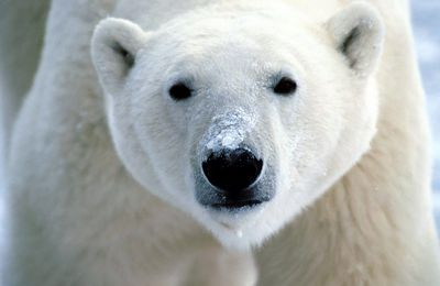 PLS Urge Chiang Mai Zoo to stop plans to exhibit Polar bear