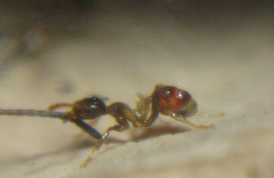 Ouvrière Pheidole Pallidula Malade ( suite )