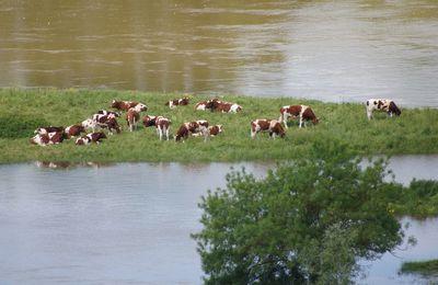 L'île aux vaches