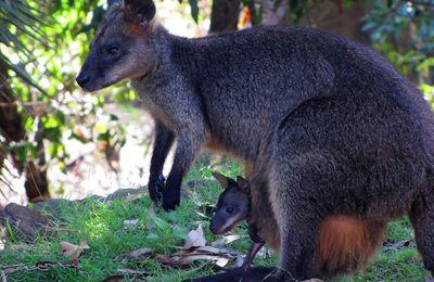 Le miracle du Kangourou