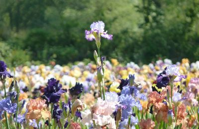 Iris, Pivoines, couleurs, parfums....