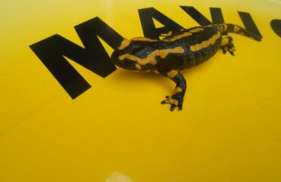 SALAMANDER ON MAVIC CHALLENGER