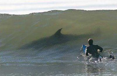La Réunion. Polémique autour des requins après la mort d'un surfeur (OF)