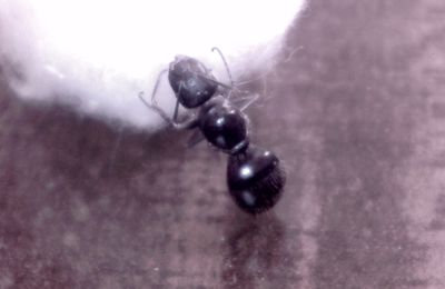 Fin pour Camponotus aethiops...