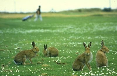 Icon Irish Hare has disappeared from one of Ireland's top nature reserves...