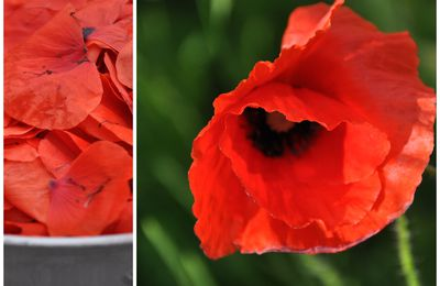 Coquelicots mesdames