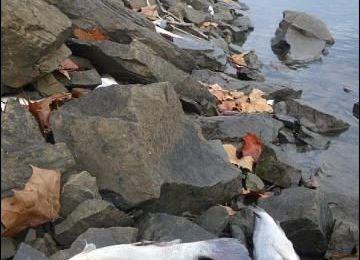5 000 oiseaux morts tombent du ciel et 100 000 poissons décèdent en Arkansas