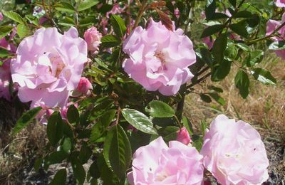 Incontournable ROSIERS !... ROSA BANKSIAE « Rosea…»