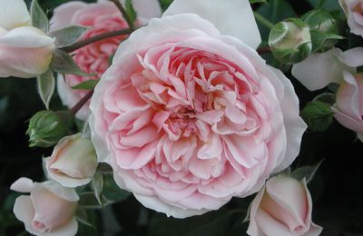 "Incontournable ROSIERS !... Rosa ""Lovely Meilland"""