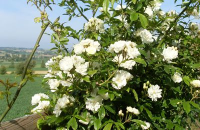 Incontournable ROSIERS !... ROSA BANKSIAE – Alba –