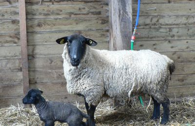 Les origines de la race ovine Suffolk.