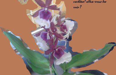 orchidée petites fées (zygopetalum ou odontoglossum?)