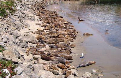 Santa Barabara, Californie : phoque ou otarie à la plage pour une sieste insolite ?!