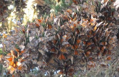 WINTER TRIP - JOUR 1: Monarchs a Monterey et Visite de Carmel