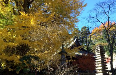 Tree of large ginkgo @ Shohouji