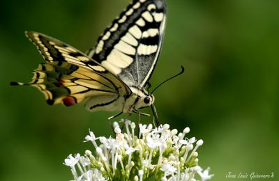 Le Machaon...