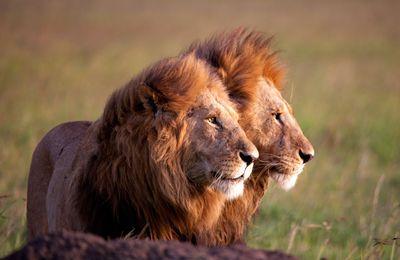 Lions, les prochains sur la liste????