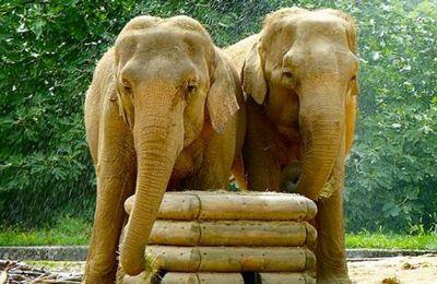 Condamnation à mort de deux éléphantes!