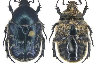 Pseudonetocia cyanescens