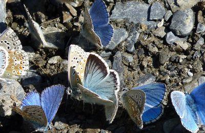 au bal des papillons...