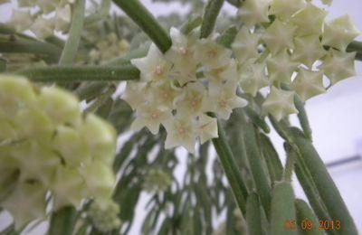 Hoya linearis, coltivazione e fiori