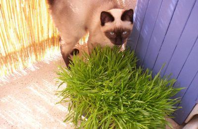 L'herbe à chats, par Sonia