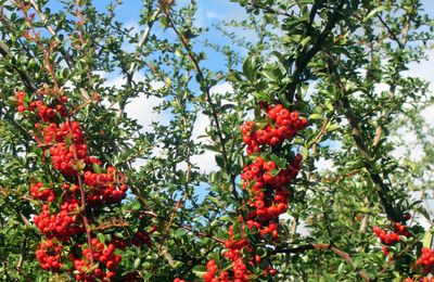 Pyracantha : avec baie rouge ou orange