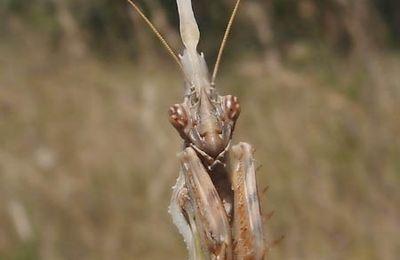 Les Mantodés : Empuse, Empusa pennata et Diablotin, larve d'empuse