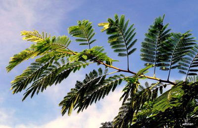 Les feuilles de l'albizia