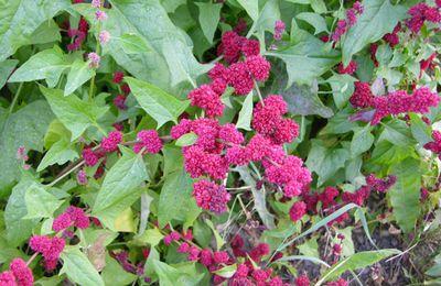 Plante rare et aromatique : La Mertensia maritima mais aussi (...)