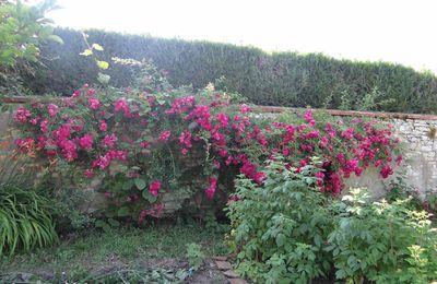 rosier liane couleur fushia