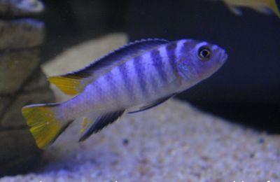 Pseudotropheus élongatus Mpanga