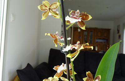 "Mon Colmanara wildcat ""yellow butterfly"""