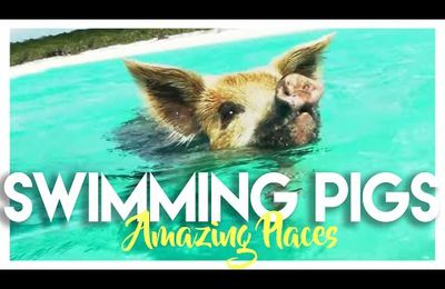 Nager avec des cochons aux Bahamas /Swimming with pigs in the Bahamas