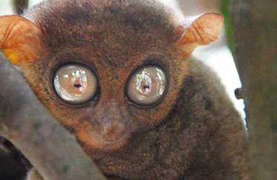 Le plus petit Primate du monde